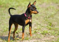 Miniature_Pinscher-large.jpg
