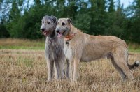 irish-wolfhound1.jpg