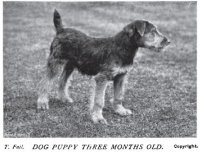 1908_Airedale_Pup.jpg