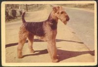 1950_Airedale.jpg