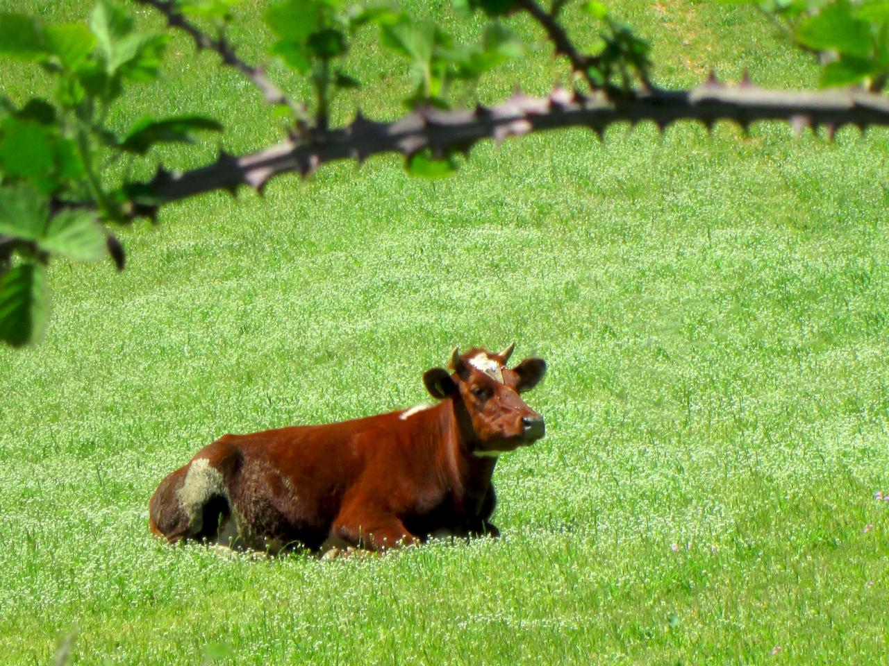 Крава, а сепак има поглед !